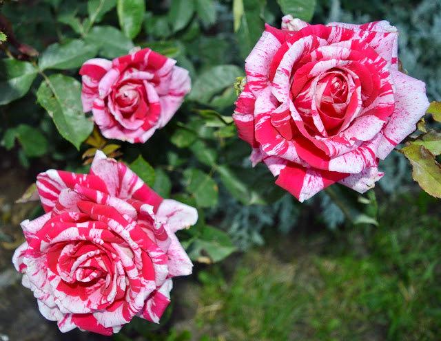 2017728 蜀葵与玫瑰_图1-7