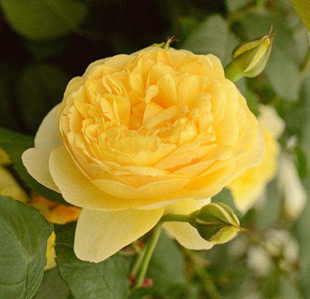 2017728 蜀葵与玫瑰_图1-12