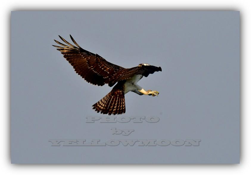 【黄月亮】 鱼鹰诀_图1-2