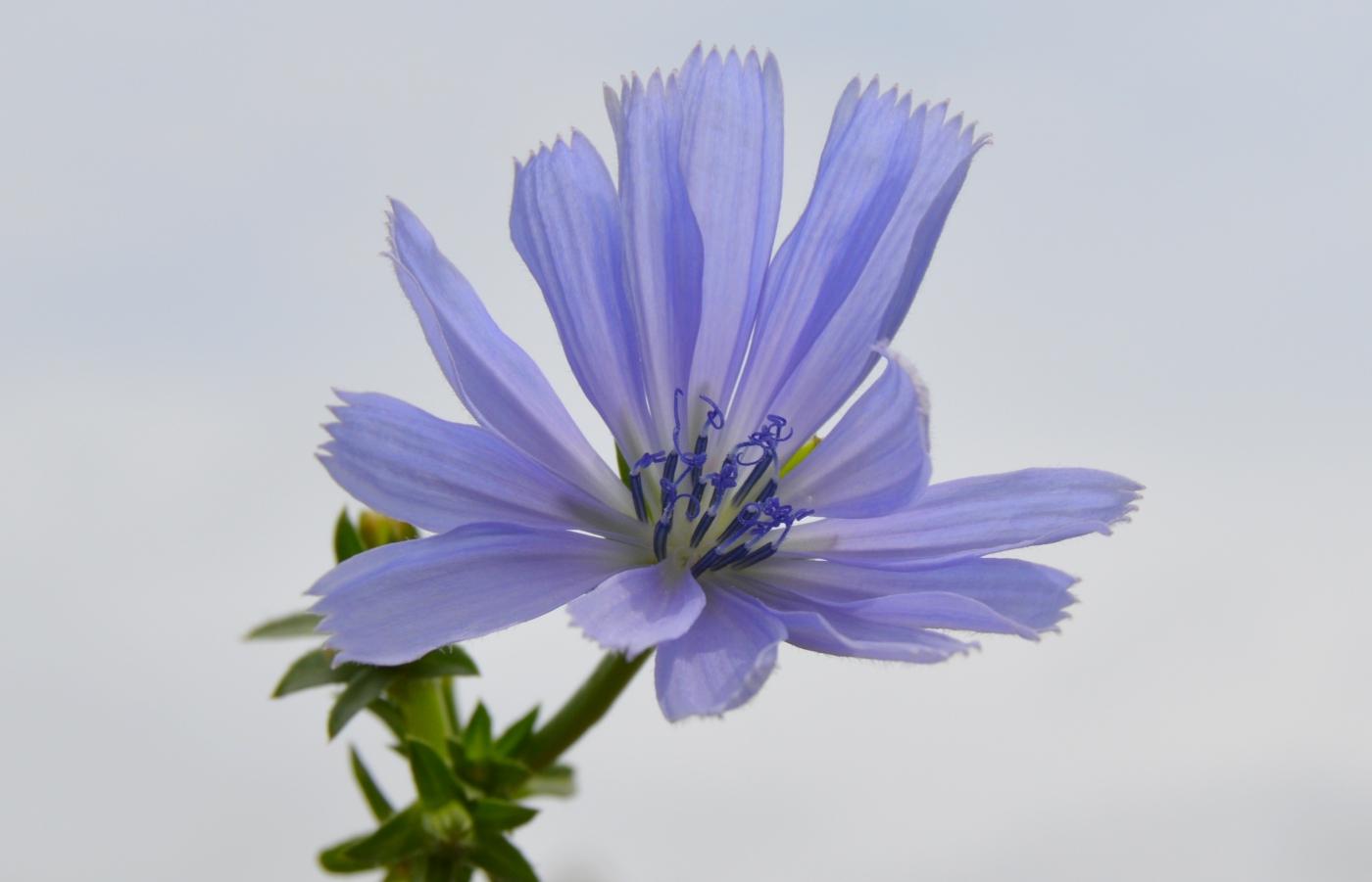 菊苣_图1-4