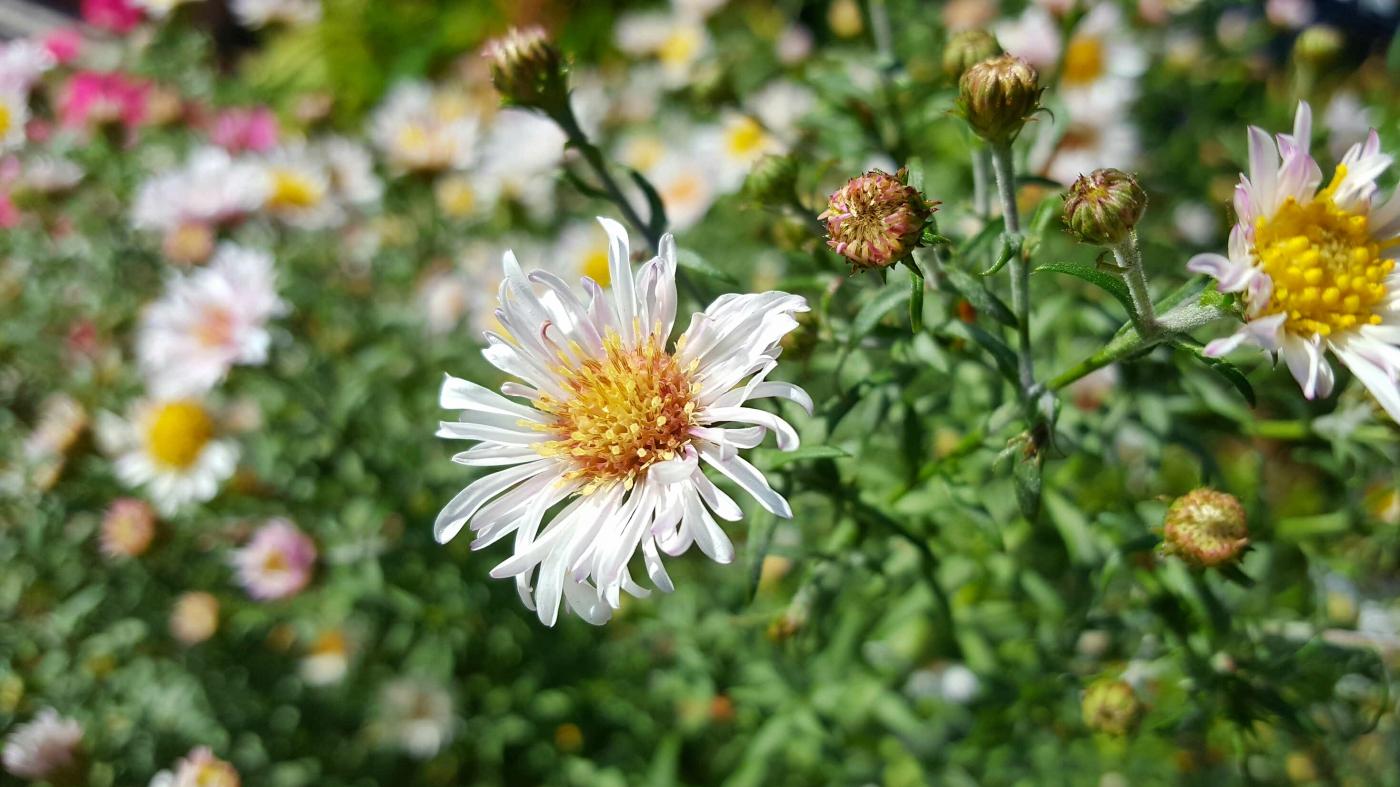 【田螺随拍】小菊盛开的节奏如同秋天的歌_图1-10