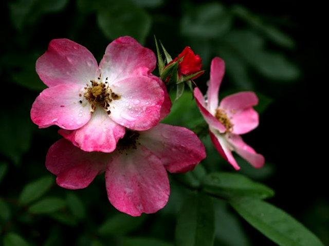 史岛植物园玫瑰_图1-1