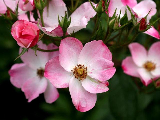 史岛植物园玫瑰_图1-3