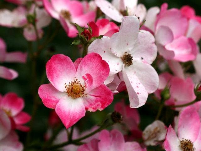 史岛植物园玫瑰_图1-5