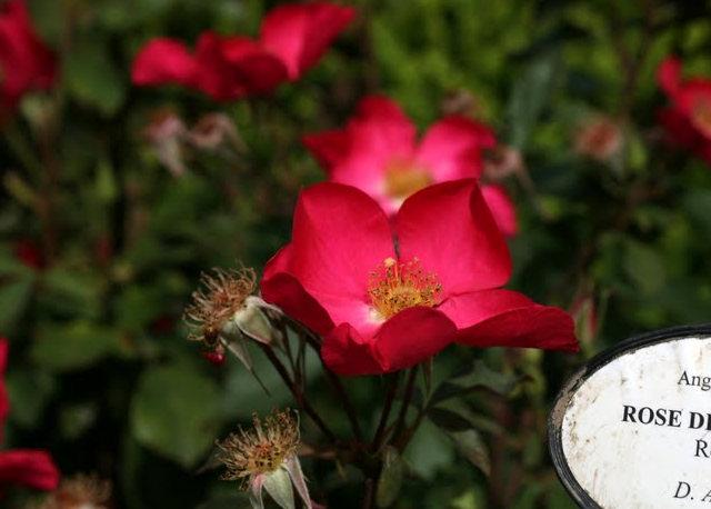 史岛植物园玫瑰_图1-12