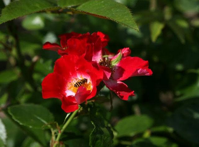 史岛植物园玫瑰_图1-14