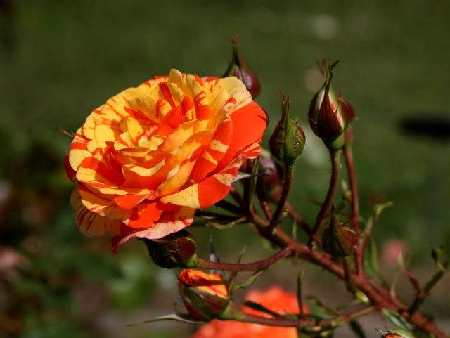 史岛植物园玫瑰_图1-18