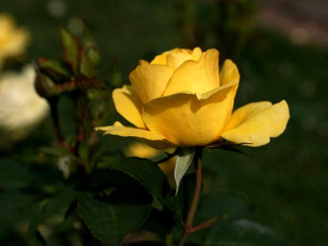 史岛植物园玫瑰_图1-19