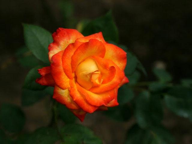 史岛植物园玫瑰_图1-21