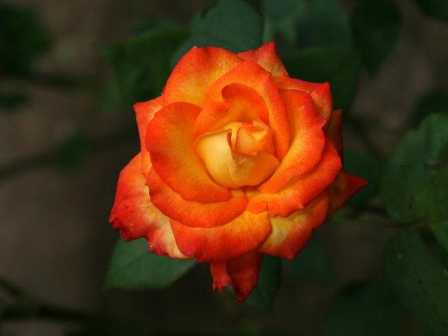 史岛植物园玫瑰_图1-22