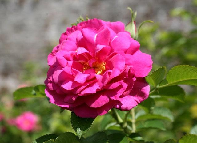 史岛植物园玫瑰_图1-23