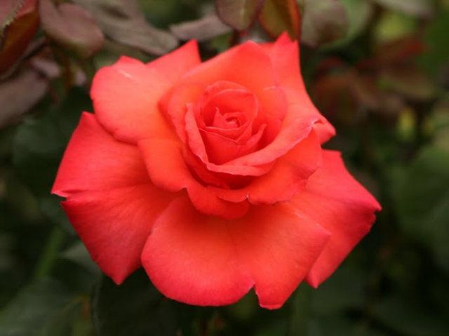 史岛植物园玫瑰_图1-24
