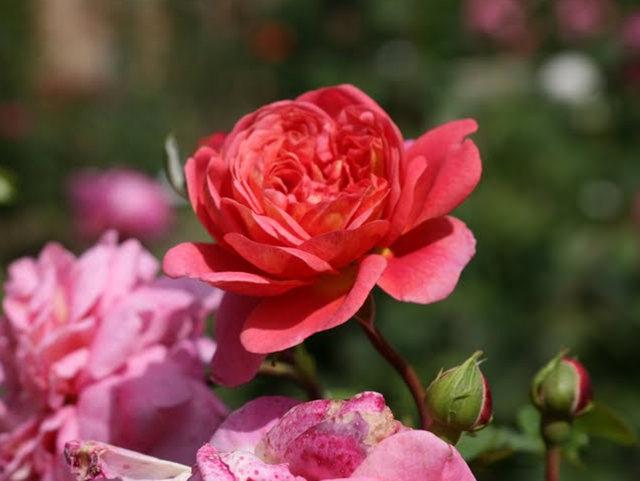 史岛植物园玫瑰_图1-26