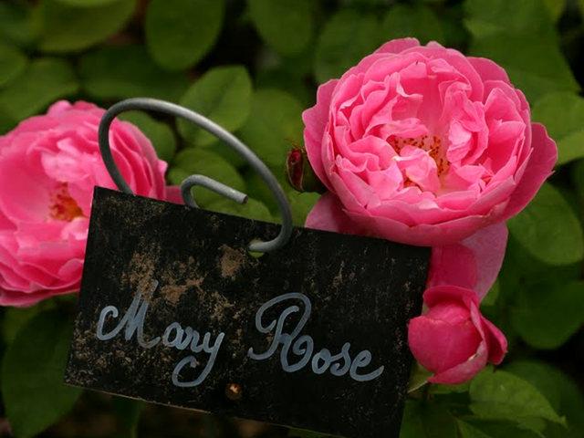 史岛植物园玫瑰_图1-27