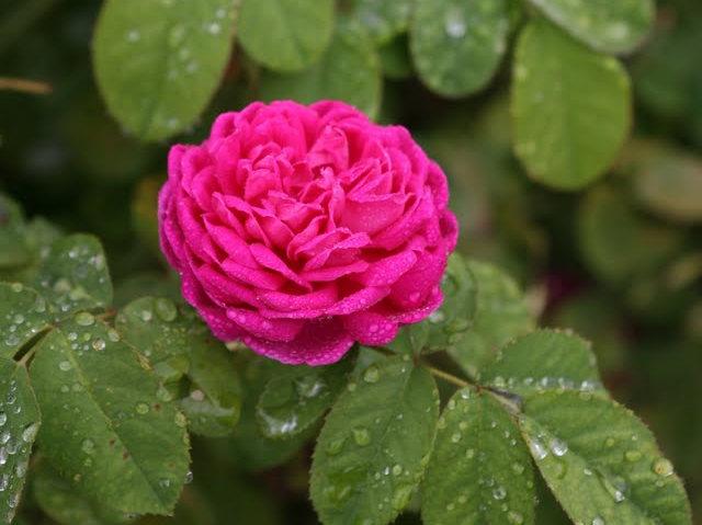 史岛植物园玫瑰_图1-28