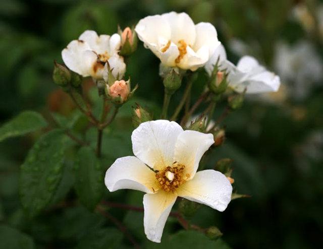 史岛植物园玫瑰_图1-30