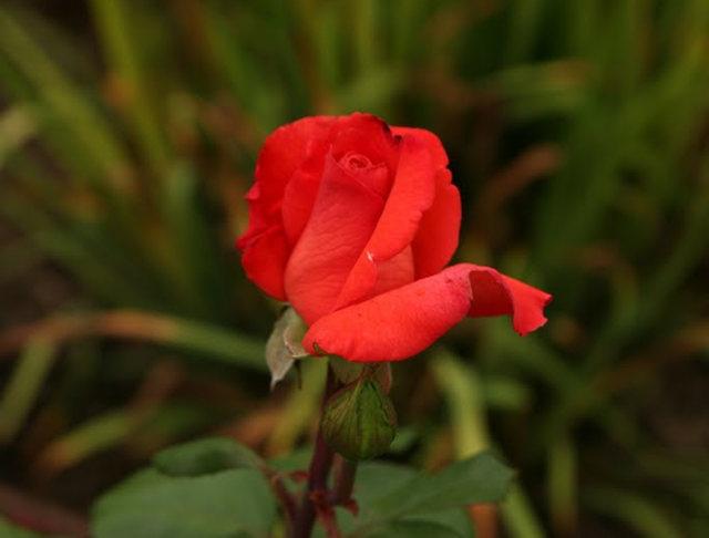 史岛植物园玫瑰_图1-34
