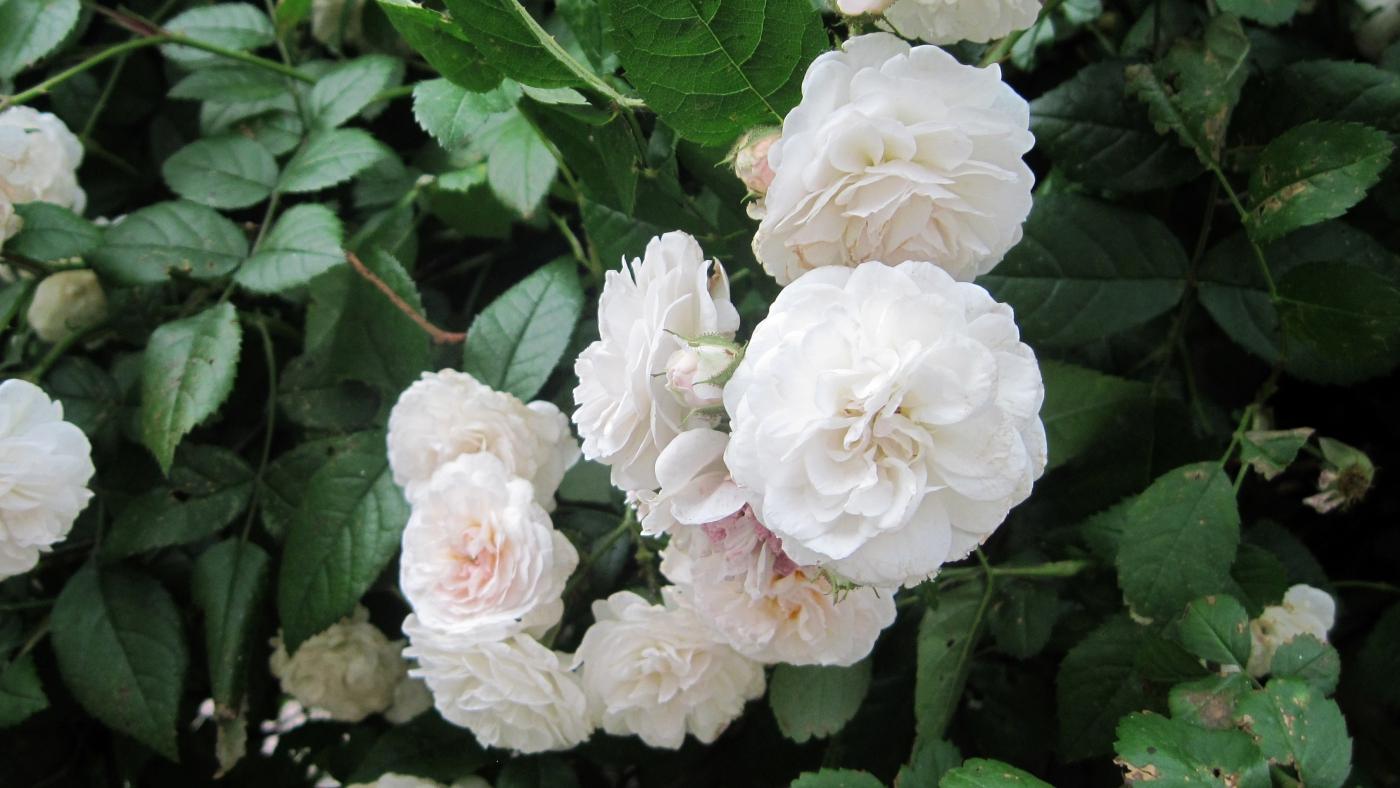【实拍】夏日的蔷薇花_图1-25
