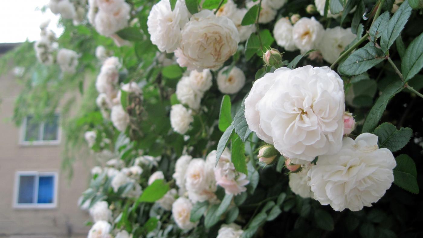【实拍】夏日的蔷薇花_图1-24