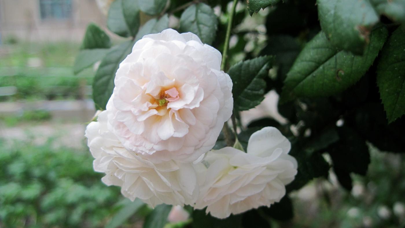 【实拍】夏日的蔷薇花_图1-22