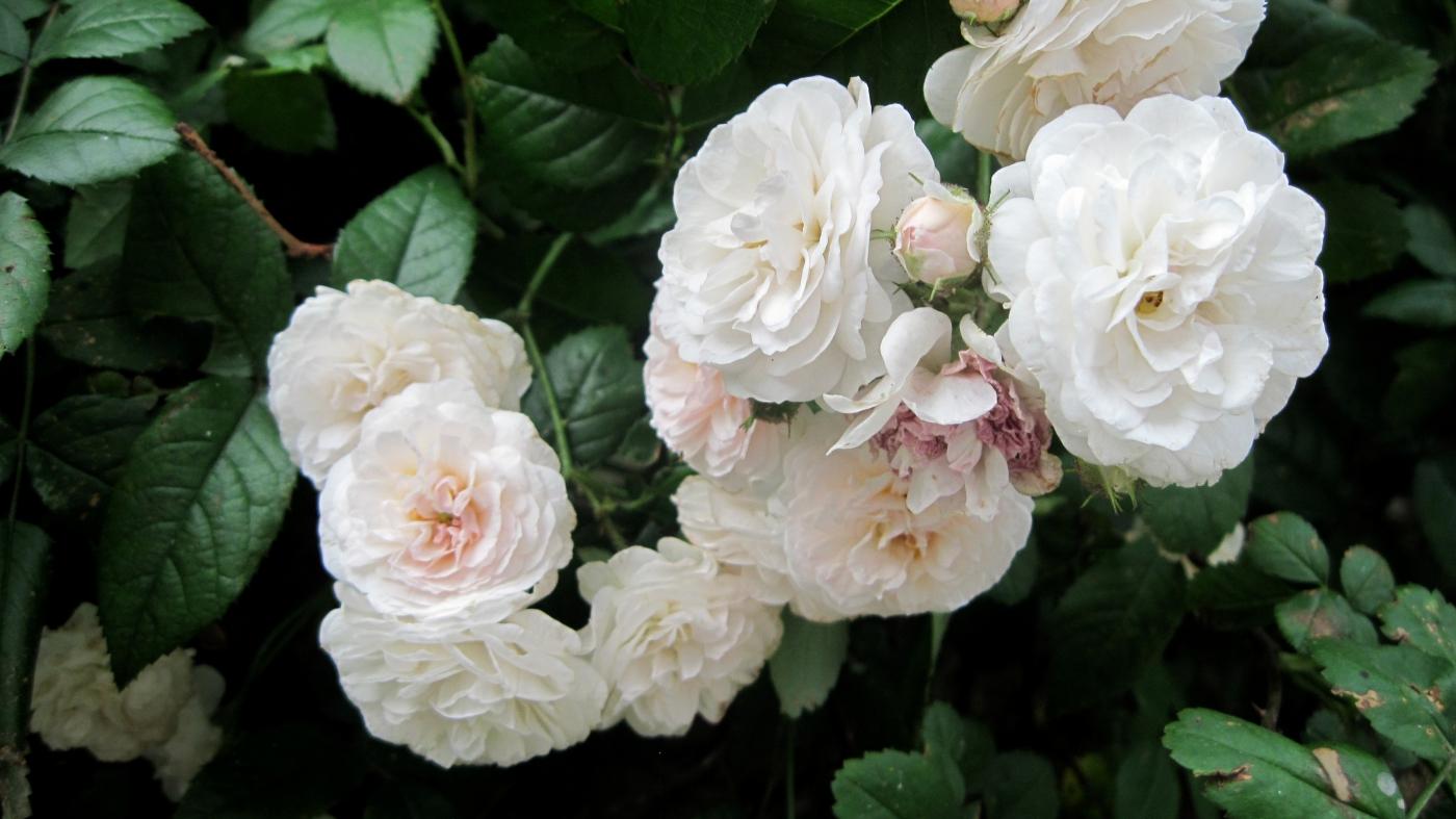 【实拍】夏日的蔷薇花_图1-21
