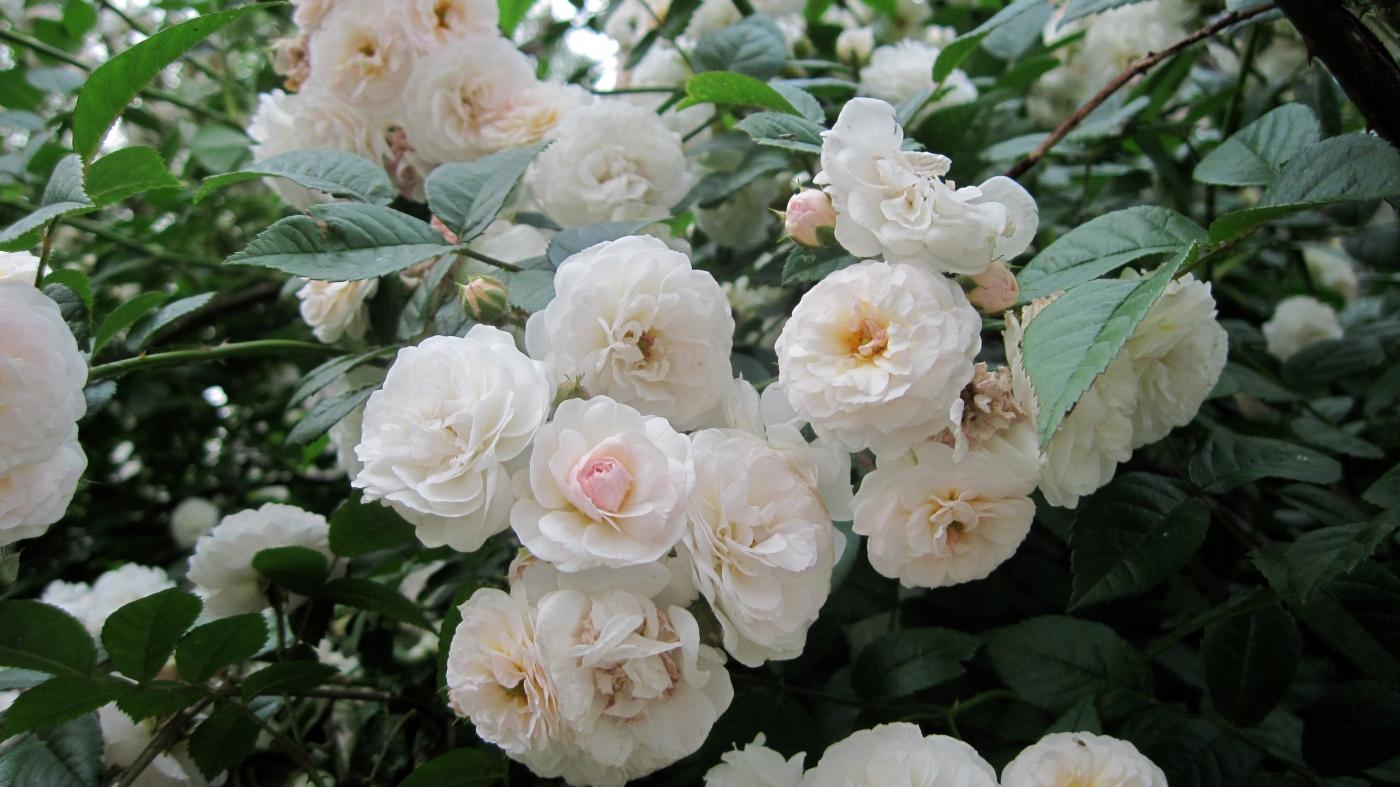 【实拍】夏日的蔷薇花_图1-20
