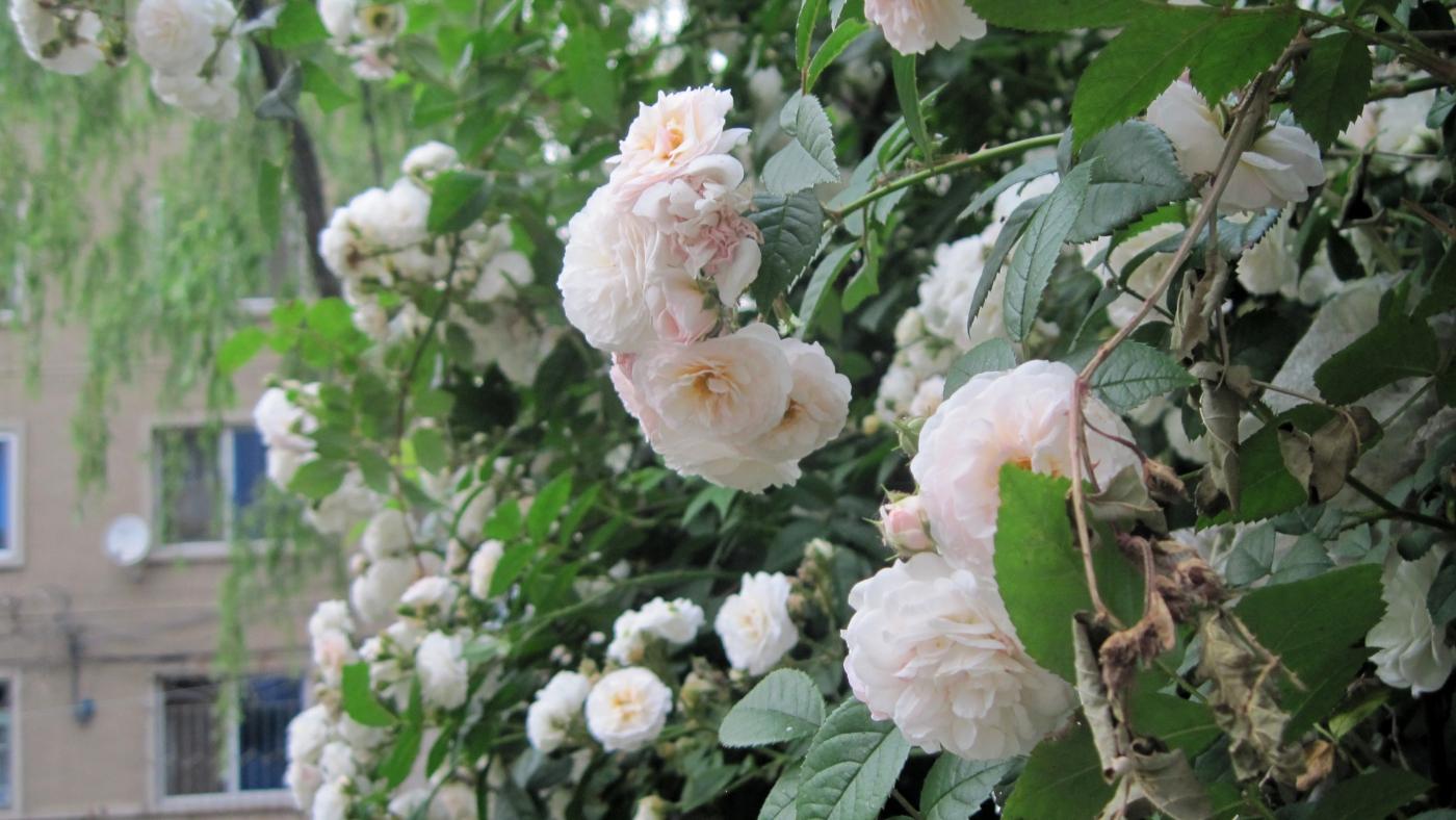 【实拍】夏日的蔷薇花_图1-19
