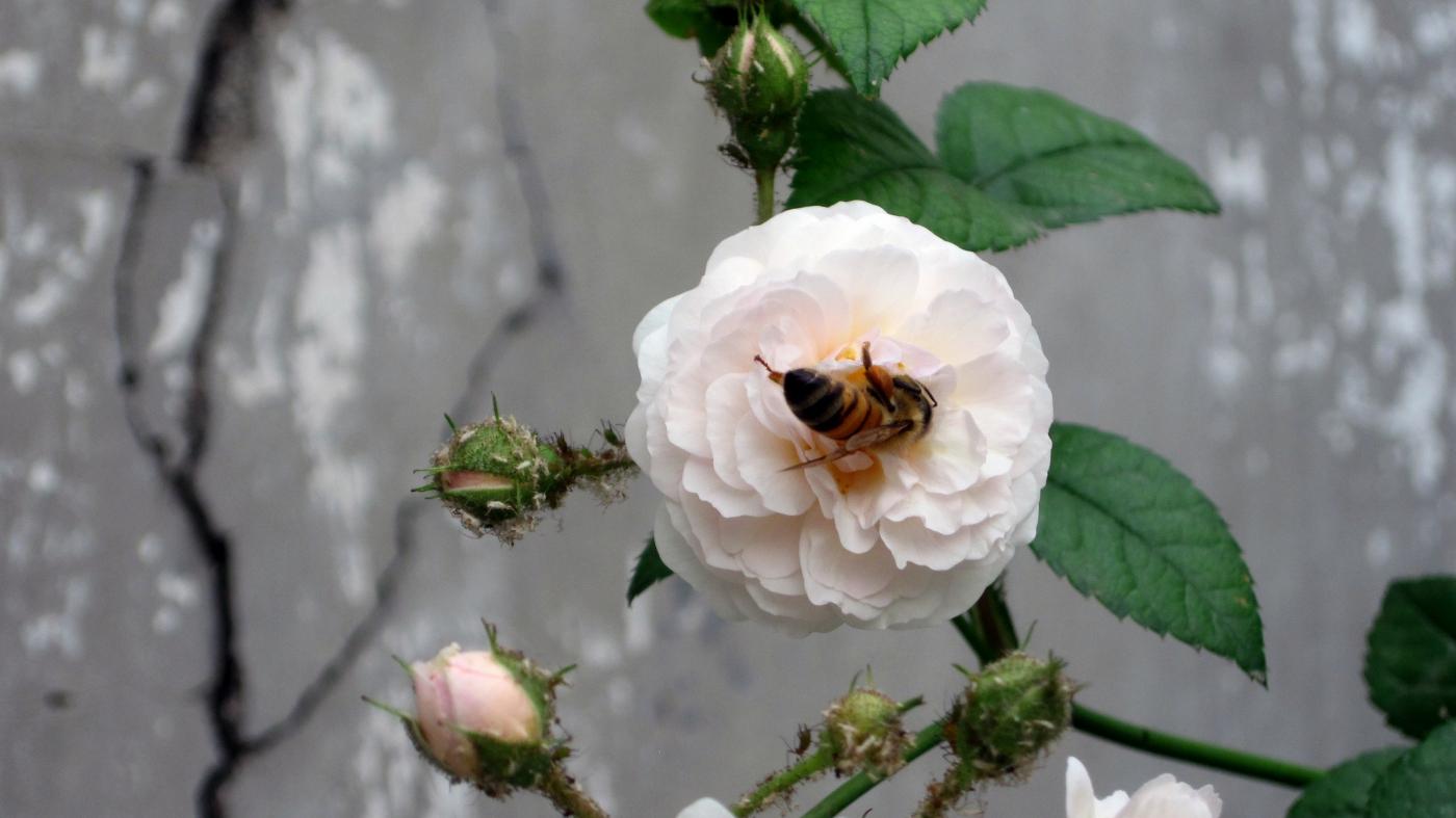 【实拍】夏日的蔷薇花_图1-16