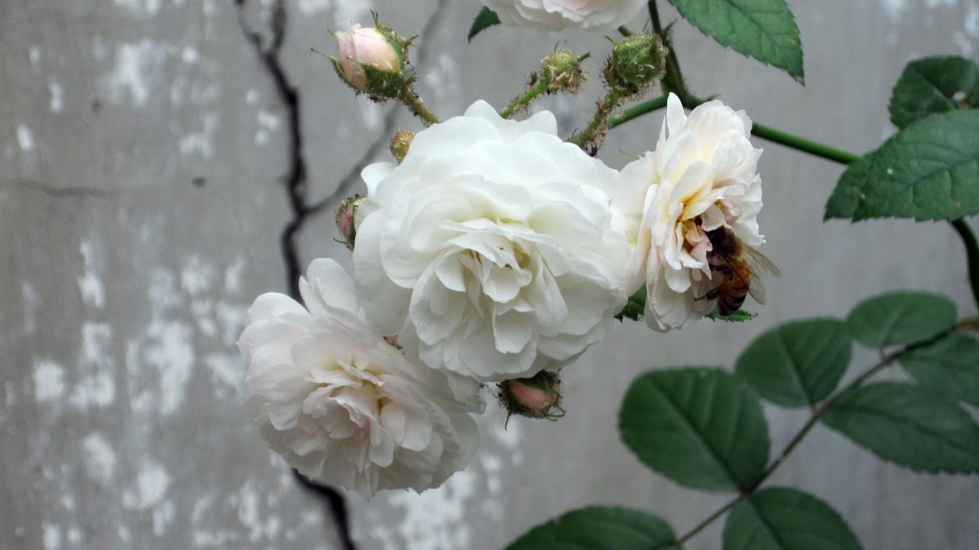 【实拍】夏日的蔷薇花_图1-15