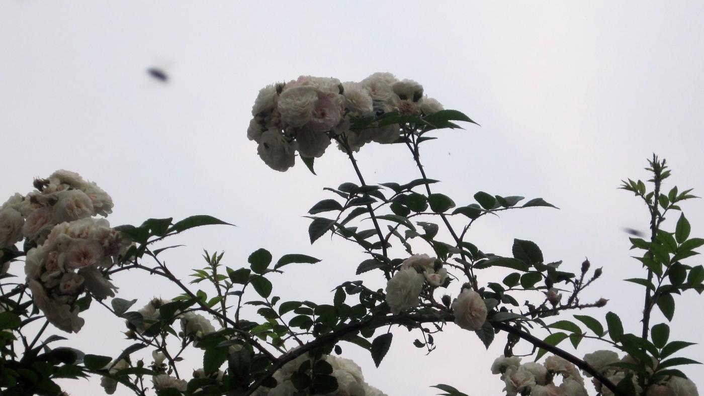 【实拍】夏日的蔷薇花_图1-14