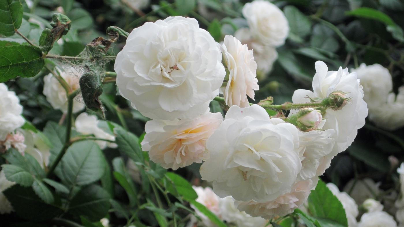 【实拍】夏日的蔷薇花_图1-13