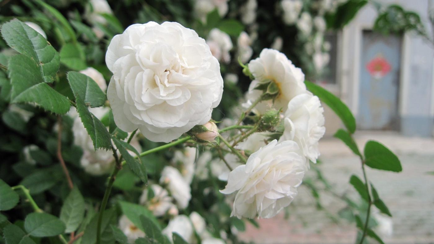 【实拍】夏日的蔷薇花_图1-12