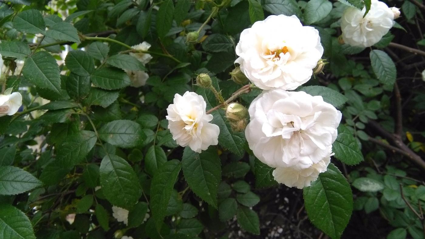 【实拍】夏日的蔷薇花_图1-9