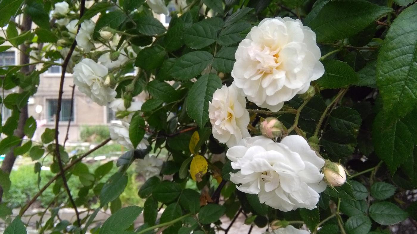 【实拍】夏日的蔷薇花_图1-8