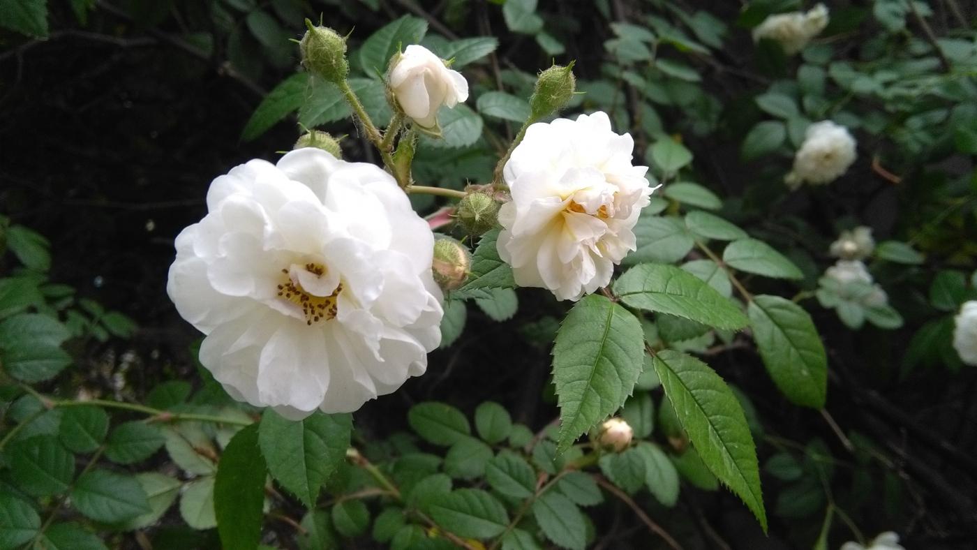 【实拍】夏日的蔷薇花_图1-7