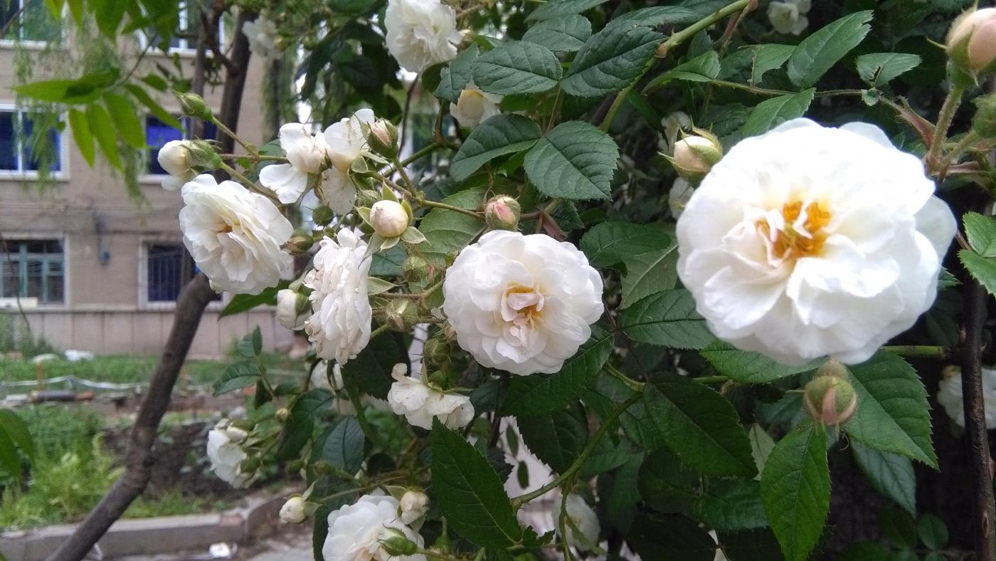 【实拍】夏日的蔷薇花_图1-6