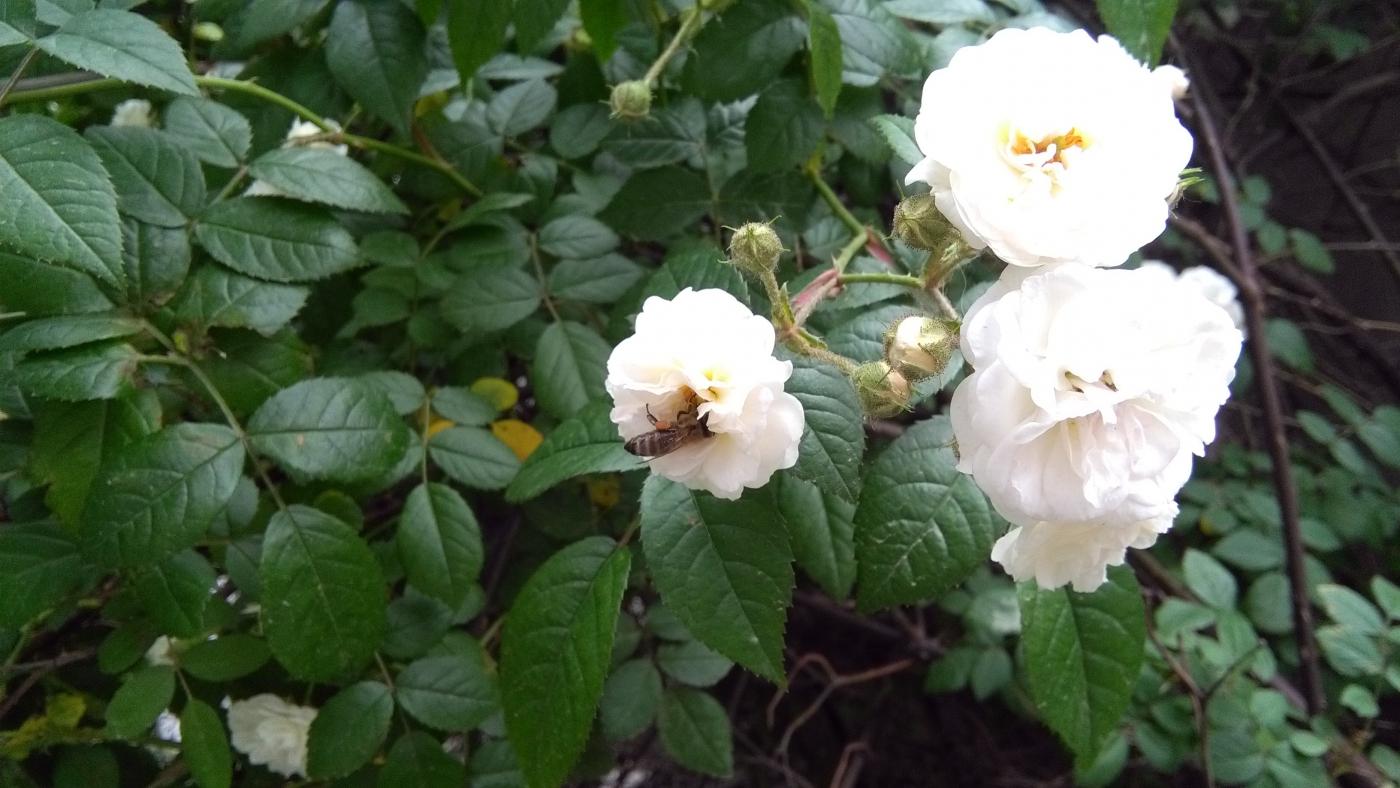 【实拍】夏日的蔷薇花_图1-5