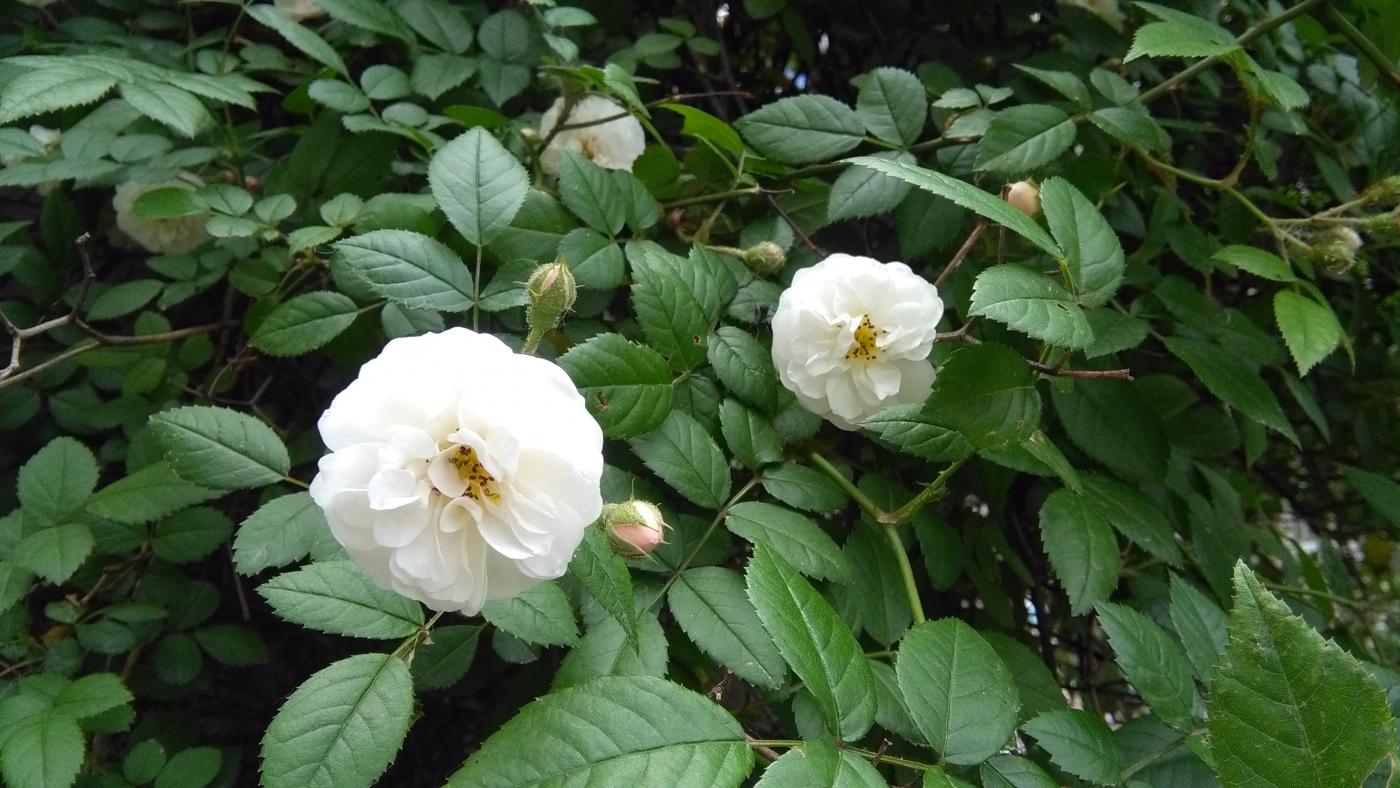 【实拍】夏日的蔷薇花_图1-4