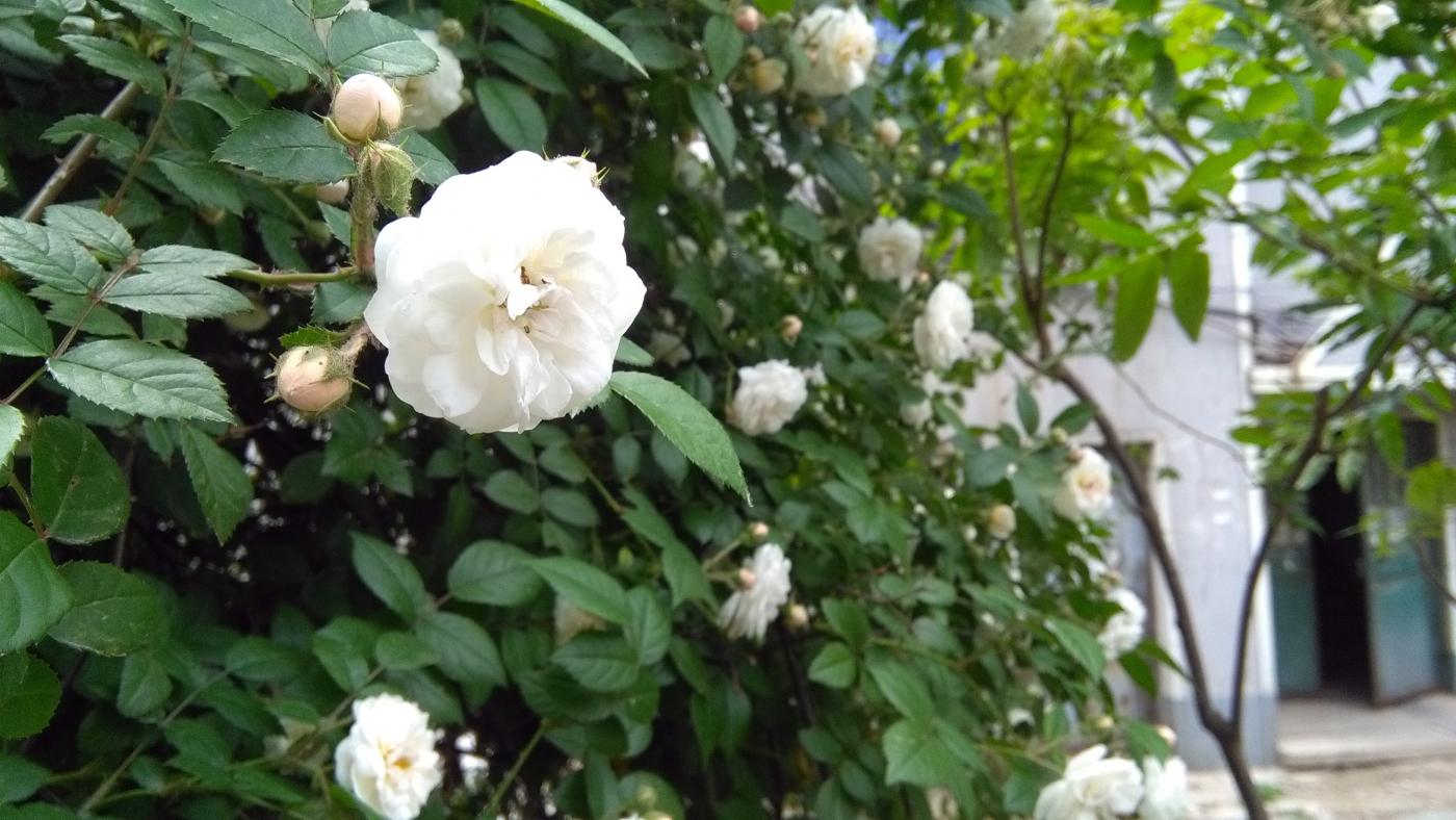 【实拍】夏日的蔷薇花_图1-2