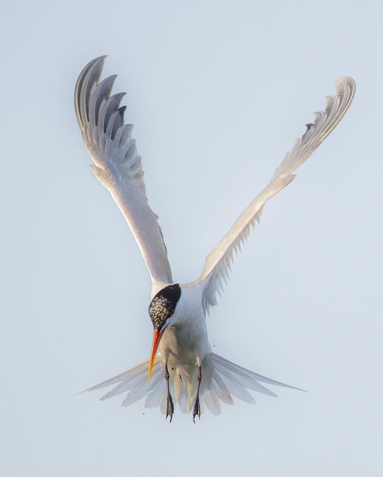燕鸥的魅力让我难以抗拒!_图1-3