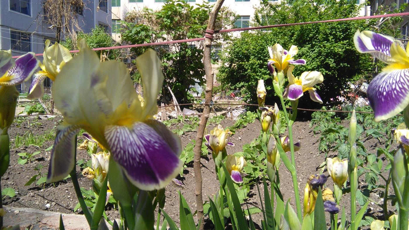 【实拍】五月的鸢尾花_图1-4