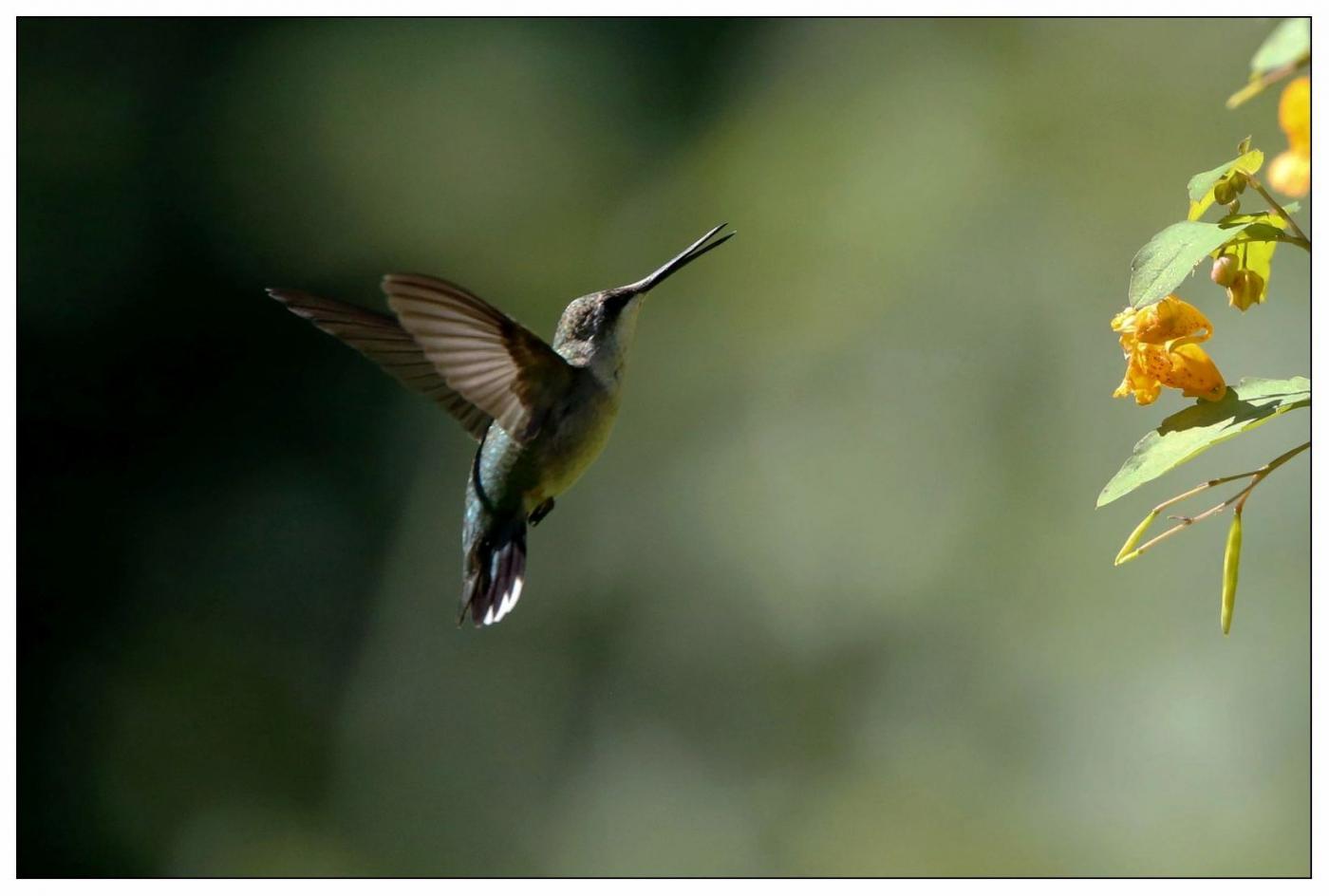 蜂鸟一组_图1-1