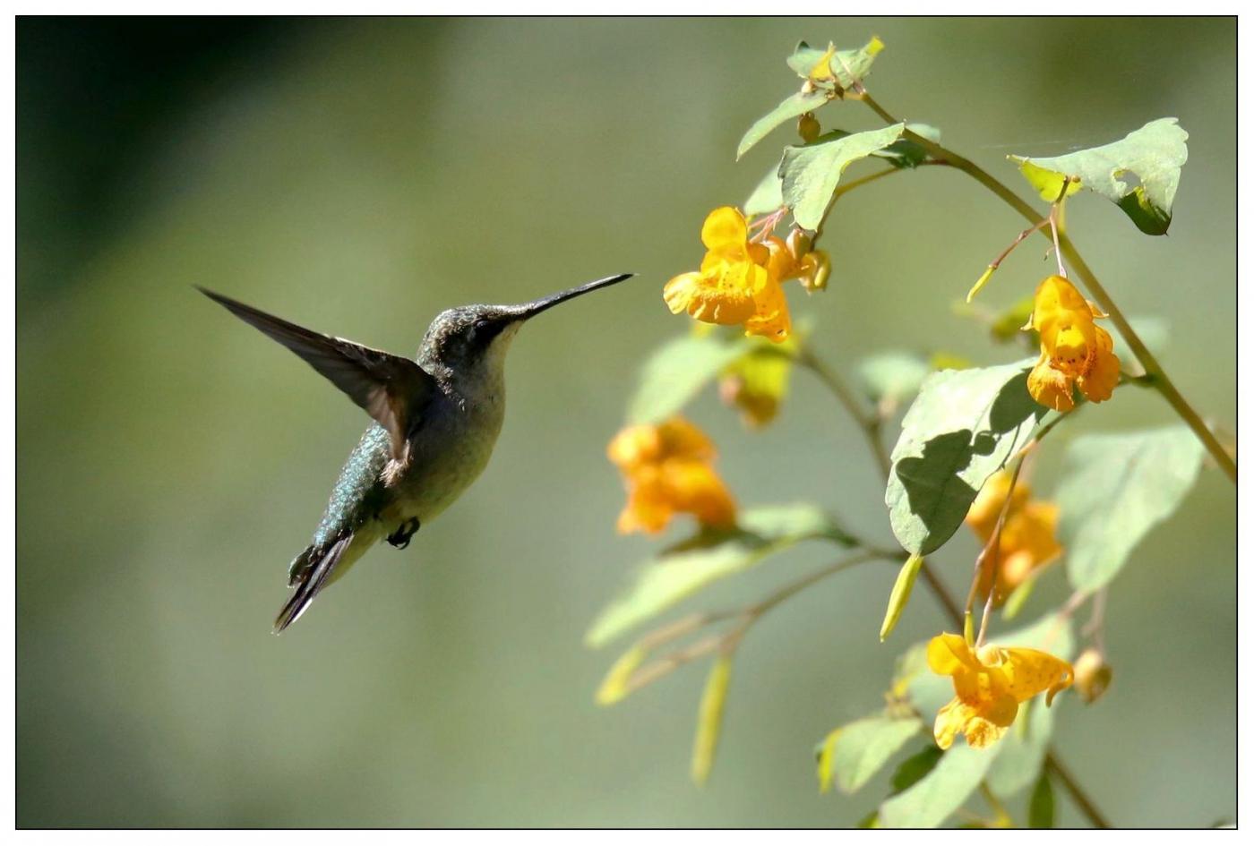 蜂鸟一组_图1-2