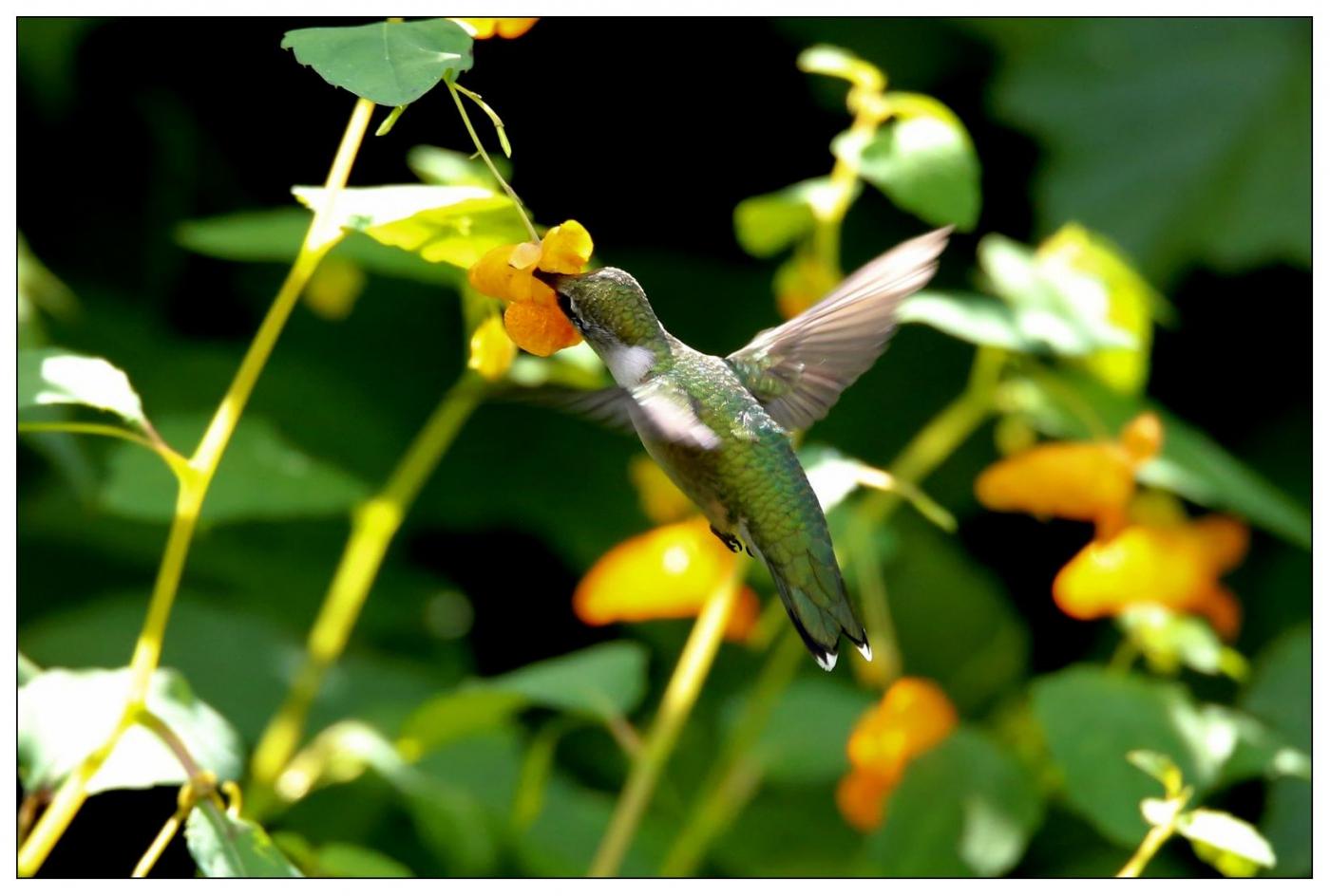 蜂鸟一组_图1-3