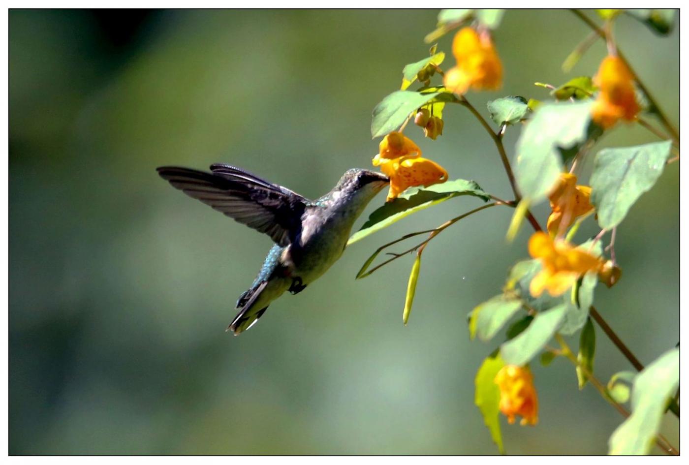 蜂鸟一组_图1-4