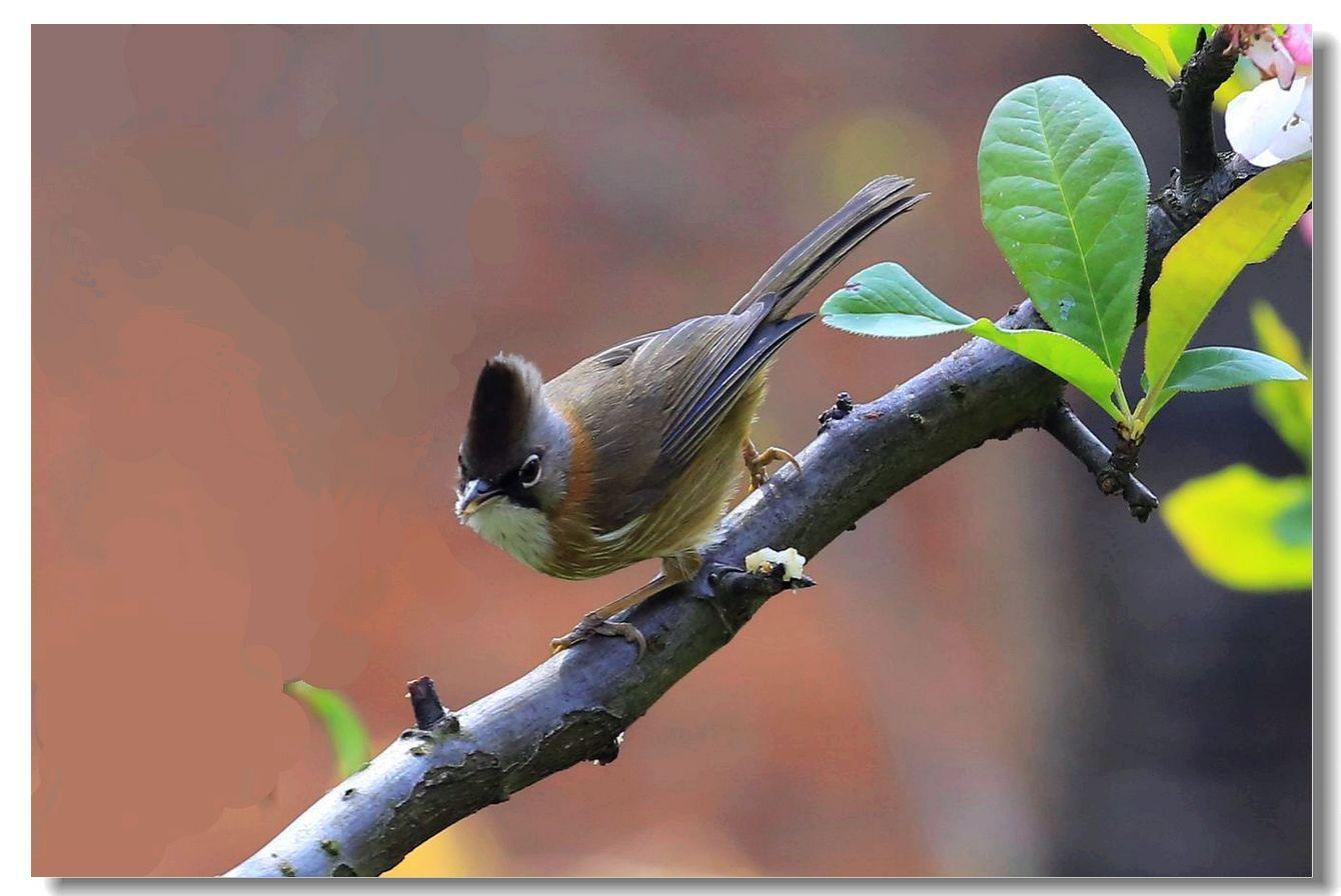 黄颈凤鹛_图1-1
