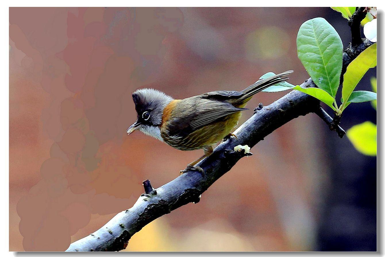 黄颈凤鹛_图1-2
