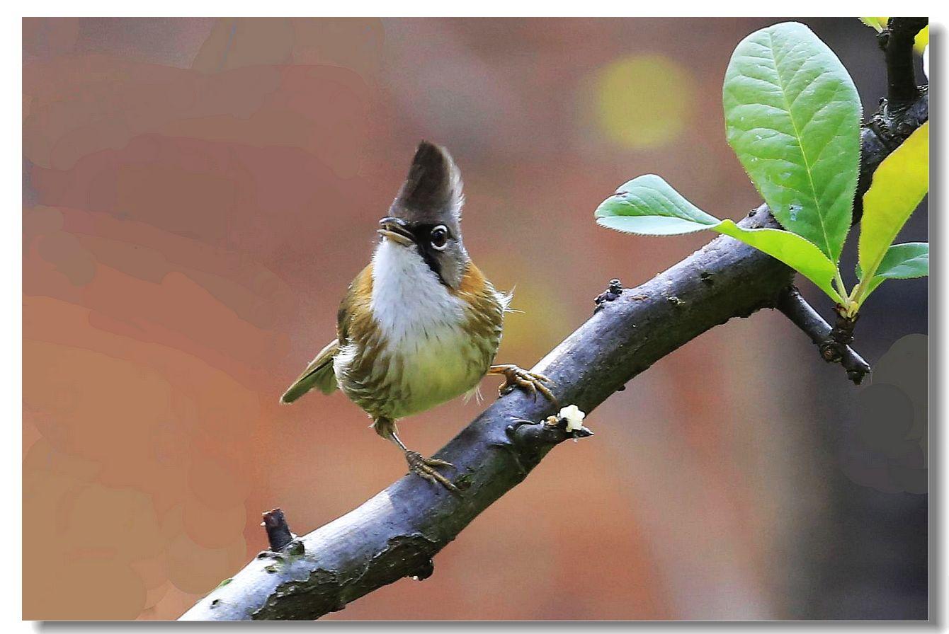 黄颈凤鹛_图1-3