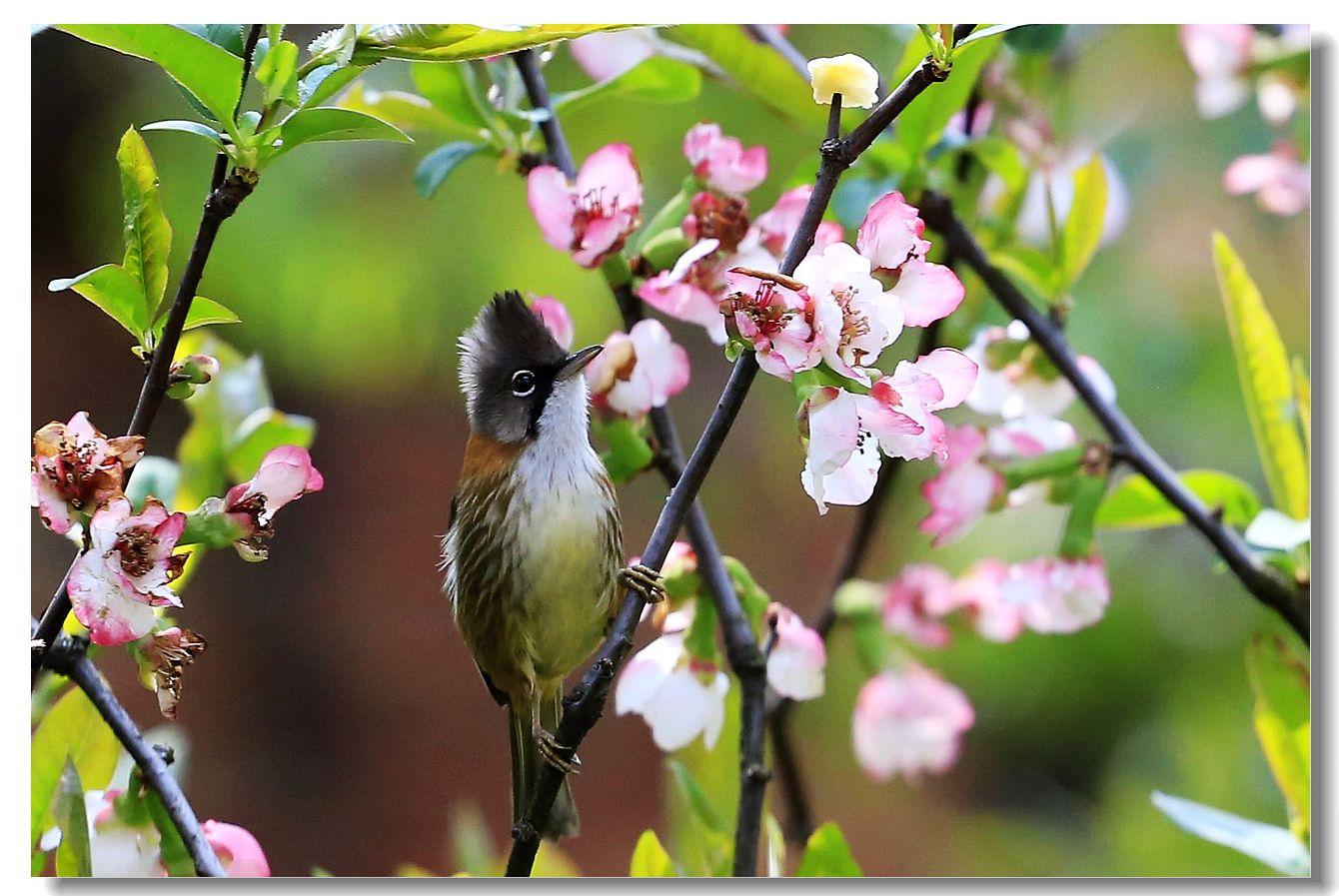 黄颈凤鹛_图1-9