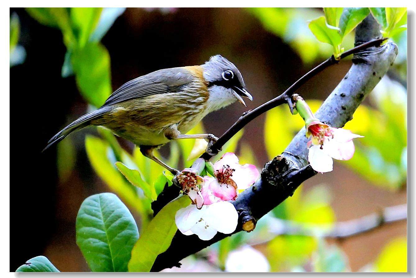 黄颈凤鹛_图1-10